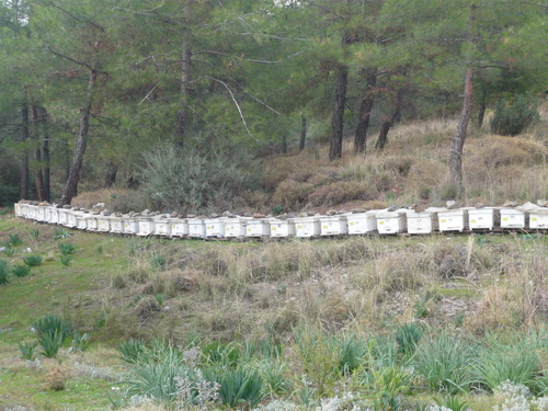 Bee Keeping in the Pine Forest of Ciftlik Turkey